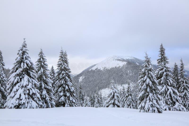 Os abeto macios nos montes de neve cobertos com a neve no gramado Paisagem bonita na manhã nevoenta do inverno frio fotografia de stock