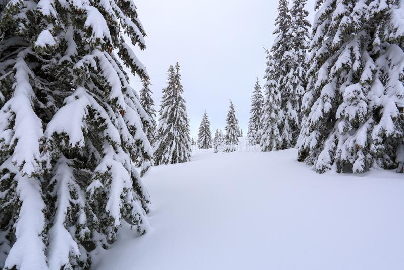 Os abeto macios nos montes de neve cobertos com a neve no gramado Paisagem bonita na manhã nevoenta do inverno frio imagem de stock