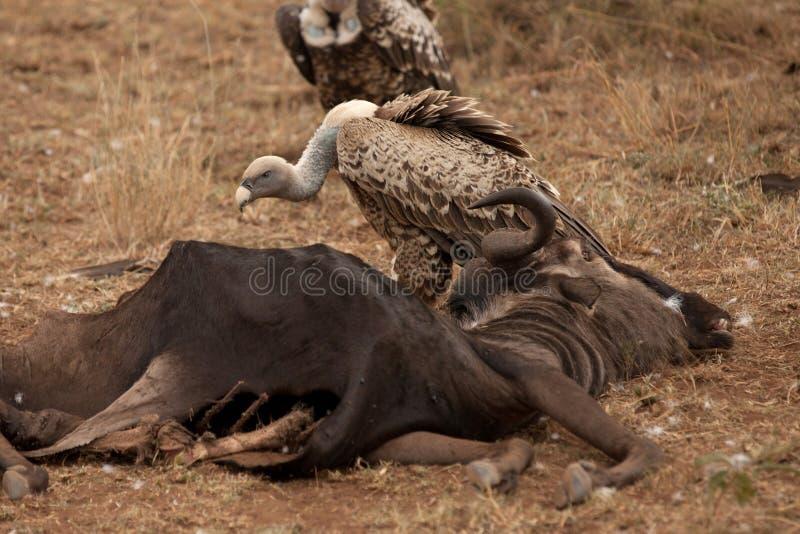 Os abutres comem um Gnu imagens de stock