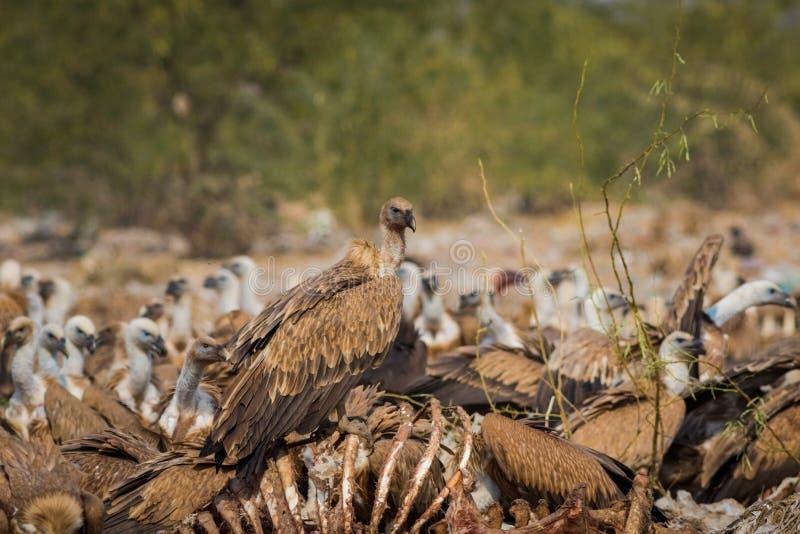 Os abutres de Griffon euro-asiáticos Gyps o voo dos rebanhos do fulvus e o assento na carcaça imagem de stock royalty free