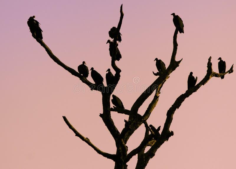 Os abutres mostram em silhueta contra o fundo do por do sol foto de stock