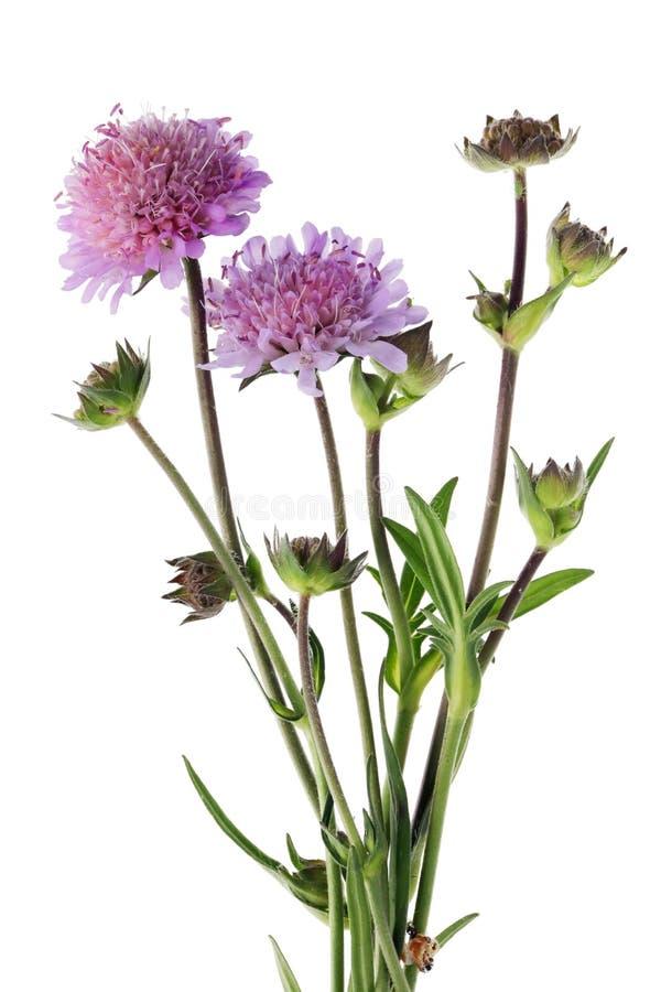 Os afídios dos insetos começam a sugar o suco de uma flor cor-de-rosa do campo foto de stock royalty free