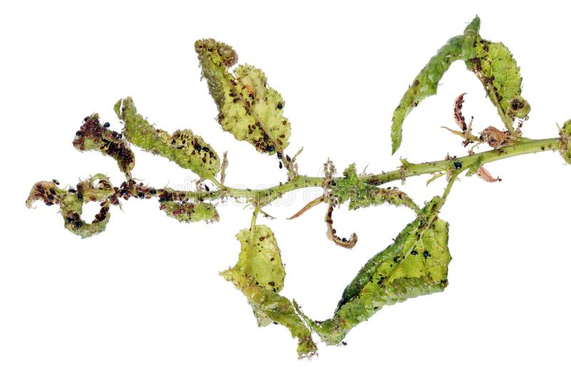 Os afídios são um inseto parasítico que sugue o suco das plantas fotos de stock royalty free