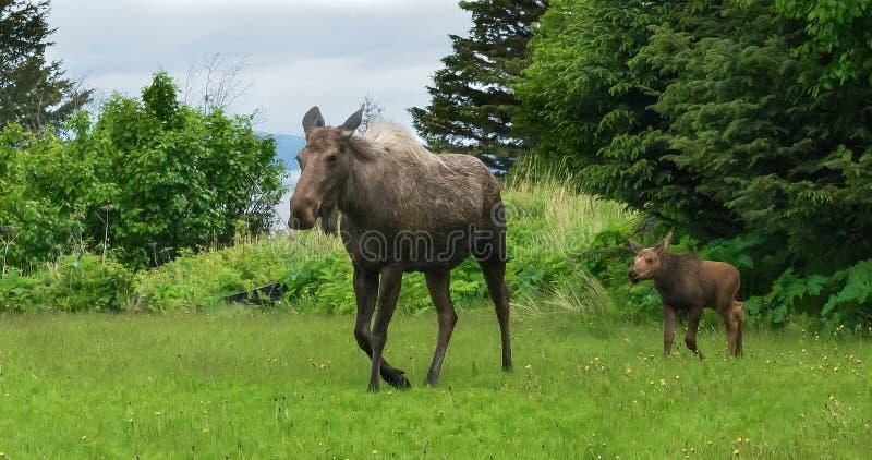 Os alces acobardam-se e vitela que anda através do prado imagens de stock royalty free