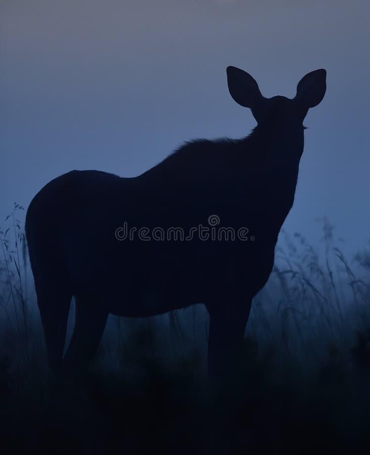 Os alces mostram em silhueta na noite fotografia de stock royalty free