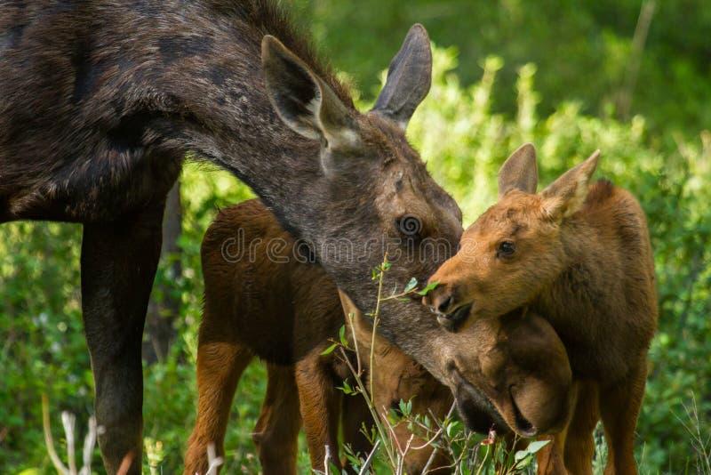 Os alces serem de mãe e juntam à carícia das vitelas foto de stock