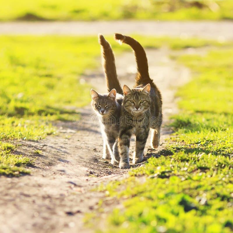 Os amantes acoplam caminhada de gatos listrada junto no prado no dia ensolarado imagens de stock