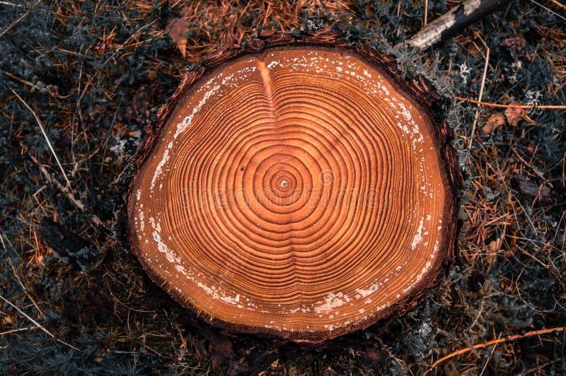 Os anéis de árvore em um corte entram uma floresta das coníferas fotografia de stock