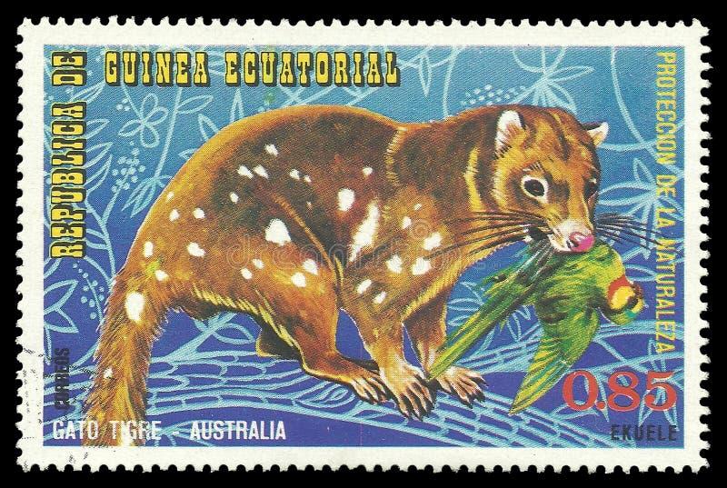 Os animais australianos, Spotted ataram Quoll imagem de stock