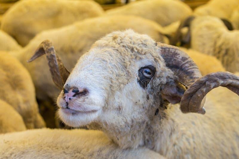 Os animais venderam para o sacrifício - turco Kurban Bayrami foto de stock