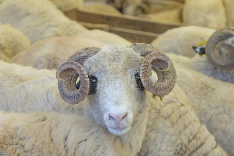 Os animais venderam para o sacrifício - turco Kurban Bayrami imagens de stock royalty free
