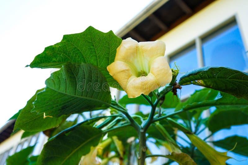 Os anjos amarelos da flor em botão tocam trombeta, solanceae do sanguinea do brugmansia imagens de stock
