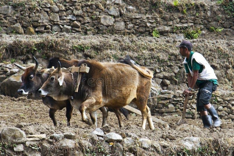 Os arados do camponês nos bois Trekking ao acampamento base de Annapurna foto de stock royalty free