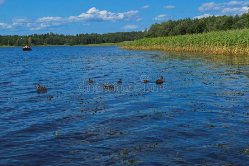 Os arbustos bonitos naturais verdes aquáticos altos das plantas gramam juncos contra o contexto do banco de rio e do céu azul imagem de stock royalty free