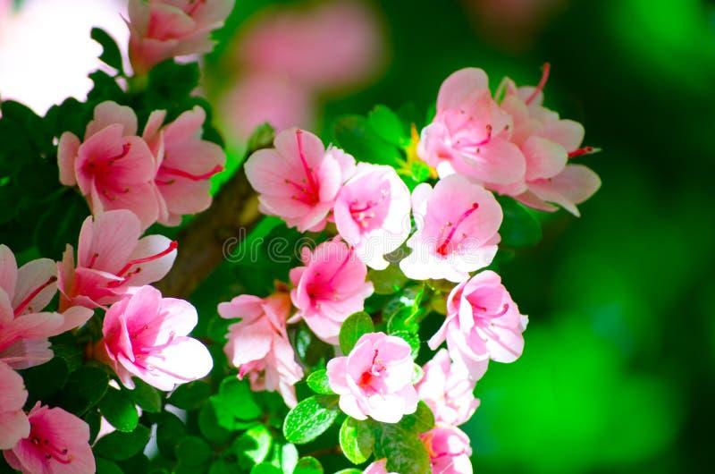 Os arbustos cor-de-rosa bonitos das azáleas florescem em uma estação de mola em um jardim botânico foto de stock