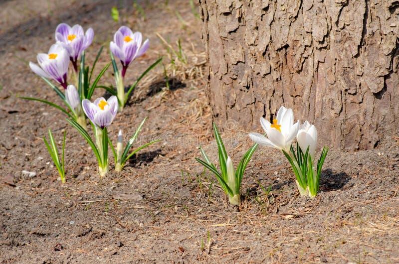 Os arbustos delicados bonitos do açafrão florescem na mola adiantada, o símbolo do começo do ano, o conceito da Páscoa imagem de stock