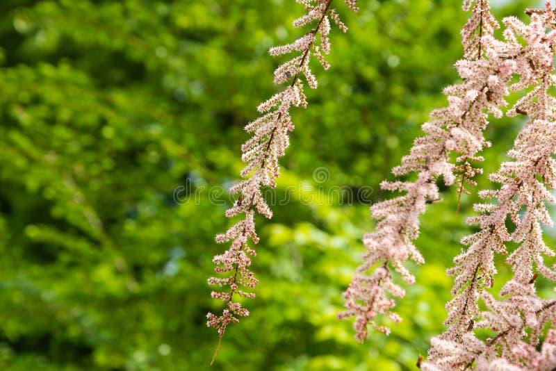Os arbustos do Tamarix florescem imagens de stock
