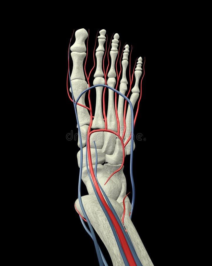 Os, artères et veines de pied illustration stock