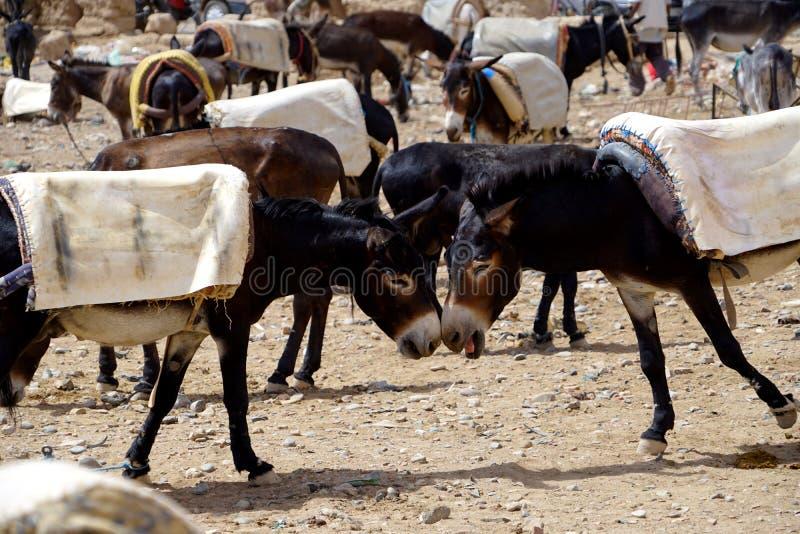 Os asnos estacionaram no souk da cidade de Rissani em Marrocos fotos de stock royalty free