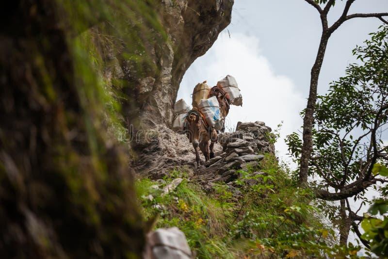 Os asnos levam bens ao longo dos trajetos extremally perigosos nas montanhas fotografia de stock