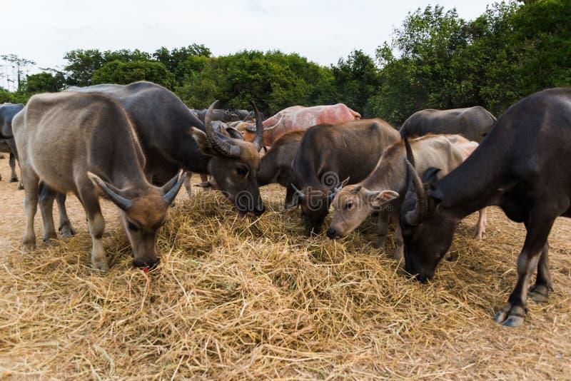 Os búfalos de água estão comendo a grama secada fotos de stock royalty free