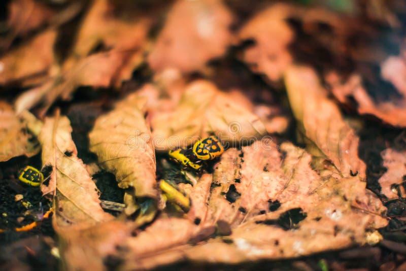 Os besouros pretos e amarelos comem as folhas do carvalho As casas do inseto são ficadas convenientemente nas folhas Macro fotos de stock royalty free