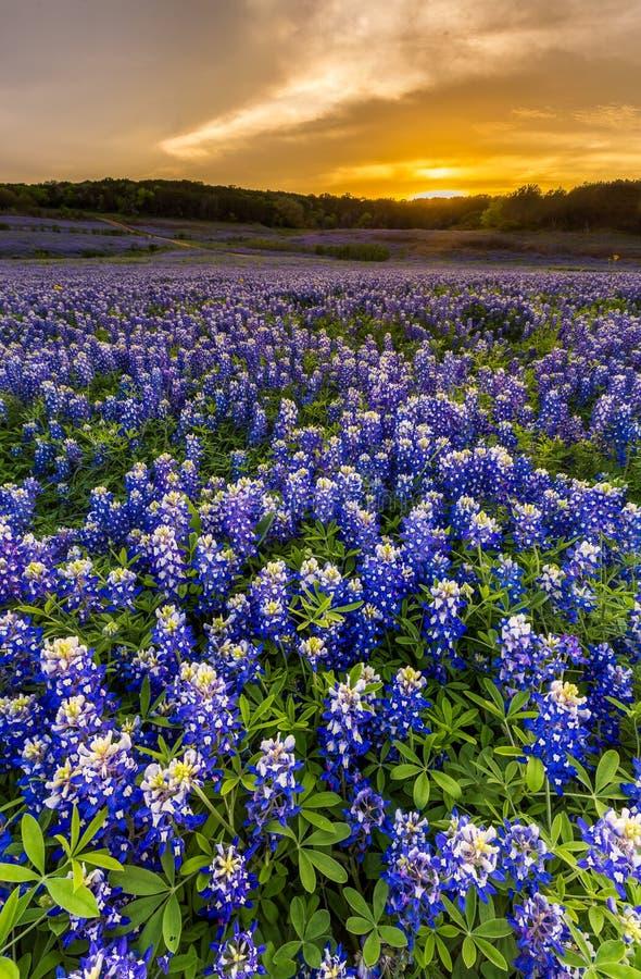 Os Bluebonnets bonitos colocam no por do sol perto de Austin, Texas fotos de stock