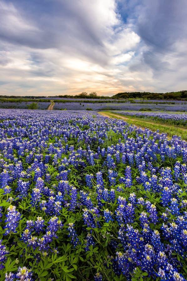 Os Bluebonnets bonitos colocam no por do sol perto de Austin, Texas foto de stock royalty free