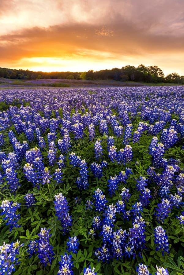 Os Bluebonnets bonitos colocam no por do sol perto de Austin, Texas imagens de stock royalty free