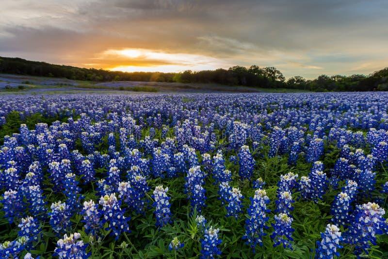 Os Bluebonnets bonitos colocam no por do sol perto de Austin, TX imagem de stock
