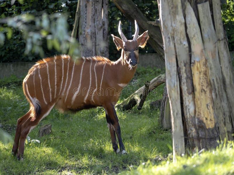 Os bongos da montanha, isaaci do eurycerus do Tragelaphus, são um grande antílope da floresta imagem de stock royalty free