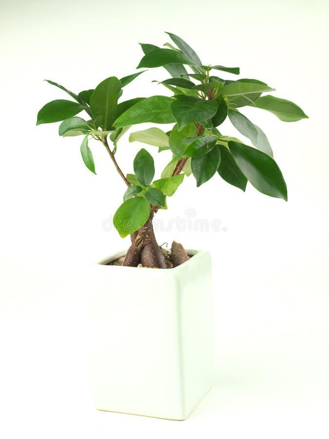 Os bonsais plantam no recipiente branco foto de stock royalty free