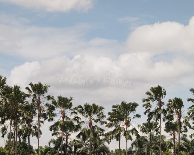 Os bosques de Las e as palmas de coco imagem de stock