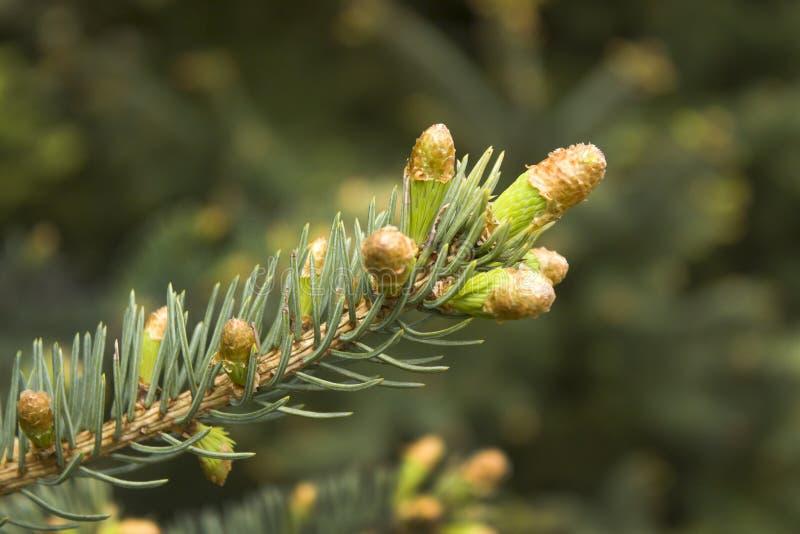 Os botões novos e os cones novos crescem fora de um galho da árvore conífera foto de stock