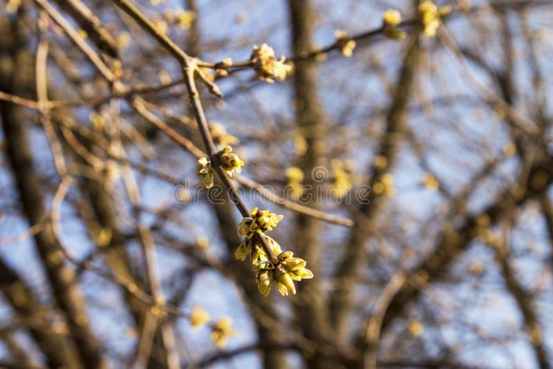 Os bot?es do Linden, as primeiras flores perfumadas aparecer?o logo fotografia de stock