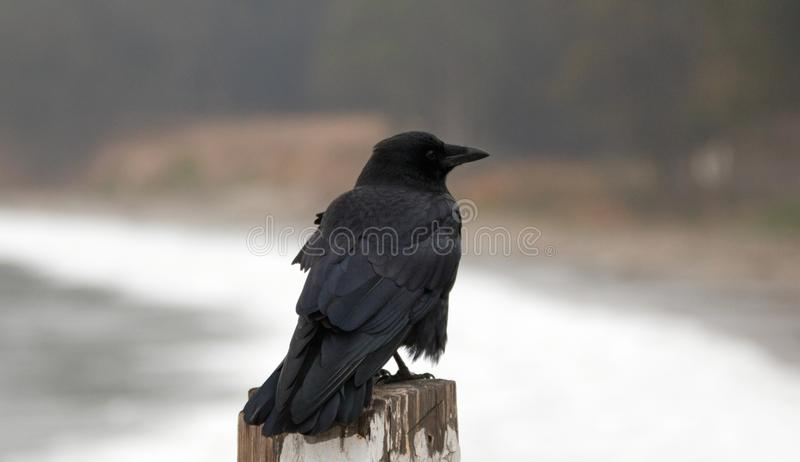 Os brachyrhynchos enrugado e windblown do Corvus do corvo americano empoleiraram-se no cais na costa central de Califórnia - EUA  foto de stock