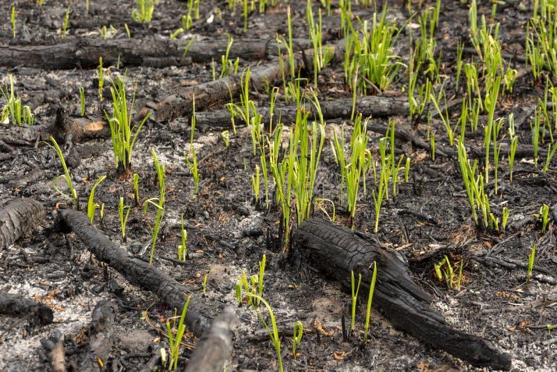 Os brotos da grama verde brotam através das cinzas após um fogo em uma textura conífera do fundo da floresta fotografia de stock