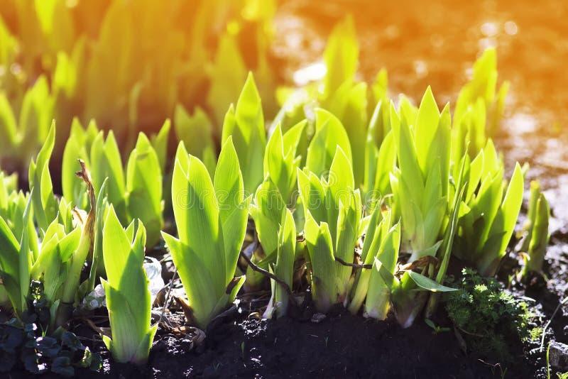 os brotos do verde da íris da flor crescem no dia de mola ensolarado fotos de stock royalty free