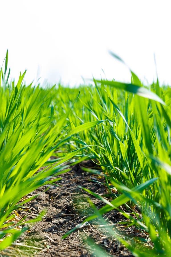 Os brotos verdes frescos do trigo de um trigo novo colhem contra um céu azul, close-up fotografia de stock royalty free