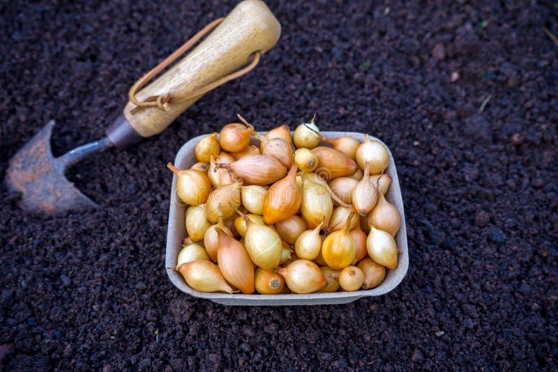 Os bulbos da cebola aprontam-se semeando no solo com p?, planta Fundo vegetal imagem de stock royalty free