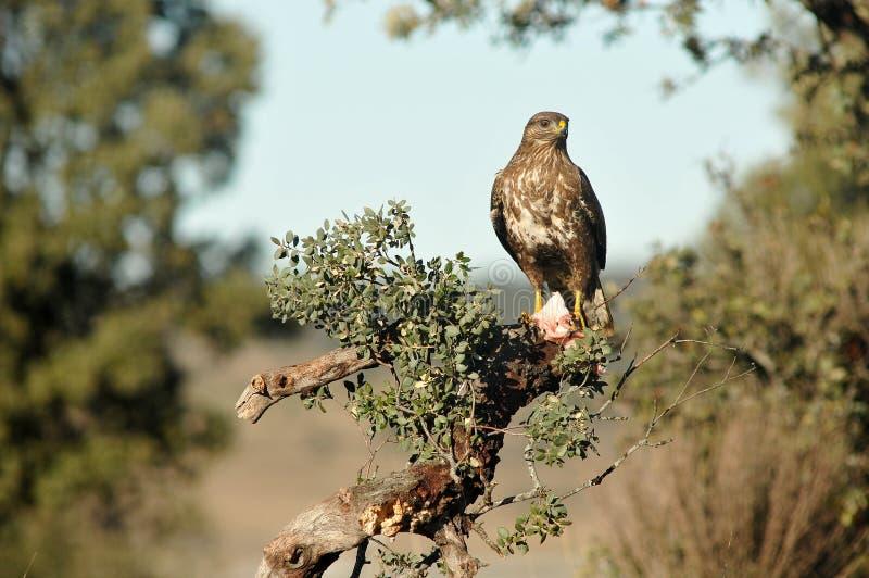 Download Buzzards Empoleirados Entre Os Ramos Foto de Stock - Imagem de wildlife, nave: 29846510
