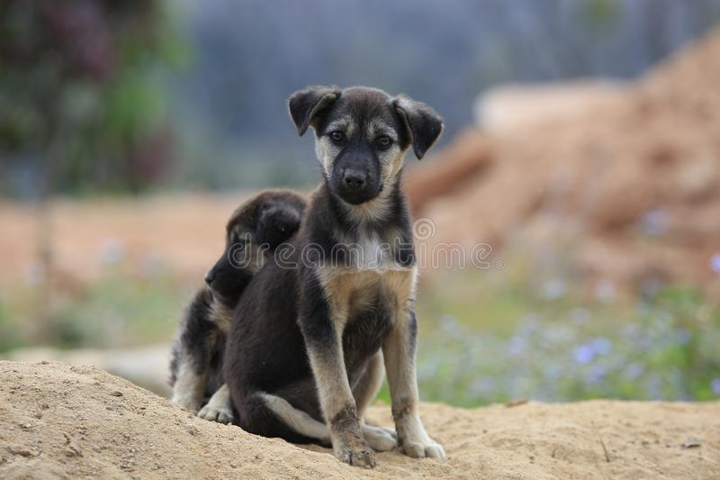 Os cães da família vivem e jogando no monte do ‹do †do ‹do †da areia, o cão vive semi selvagem na parte 11 da floresta do int fotos de stock