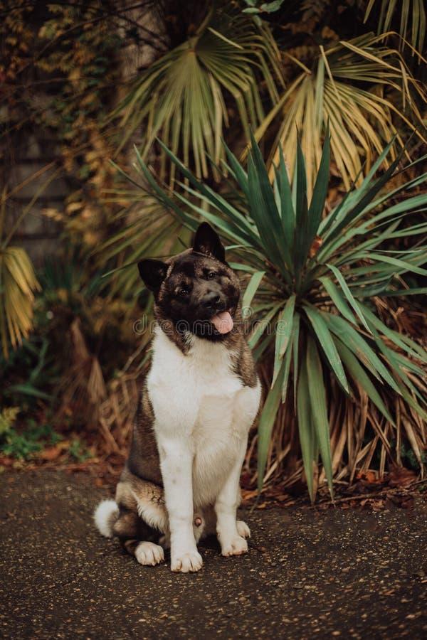 Os cães de Akita sentam-se em escadas na natureza na luz solar, retrato imagem de stock royalty free