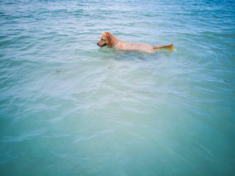 Os cães de Brown exploram a praia e o mar para encontrar o divertimento fotos de stock