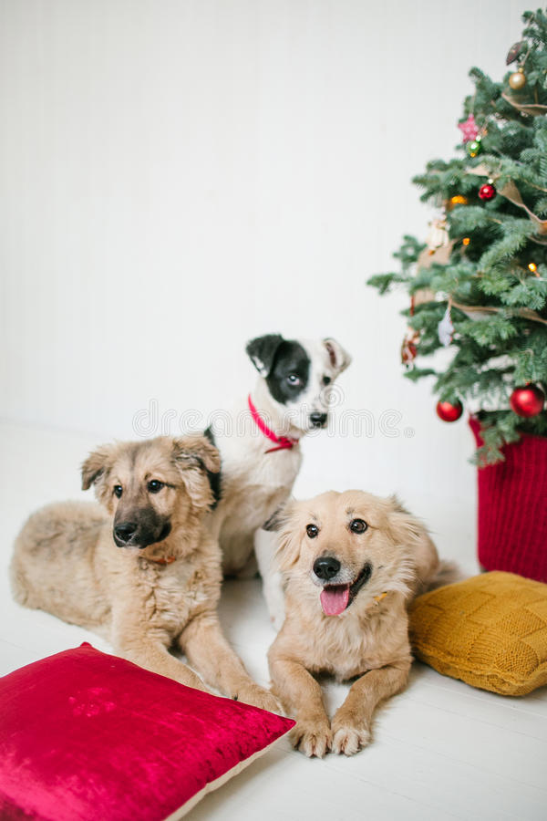 Os cães de cachorrinho bonitos próximo decoraram a árvore de Natal no estúdio fotografia de stock royalty free