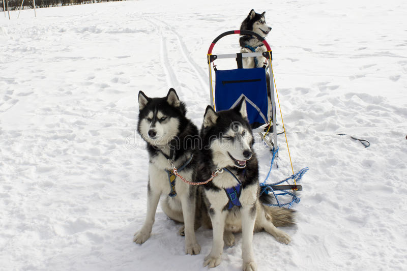 Os cães de puxar trenós da equipe foto de stock royalty free