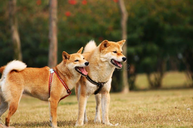 Os cães de Shiba imagem de stock royalty free
