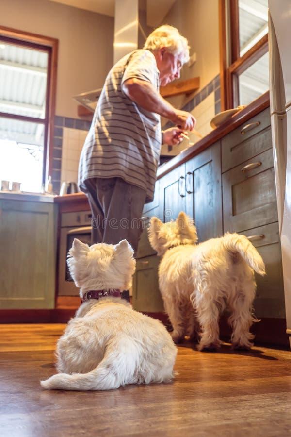 Os cães do westie do animal de estimação que esperam o proprietário caucasiano aposentado deixarão cair o alimento co imagens de stock