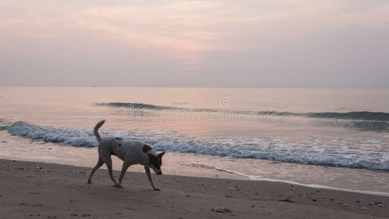 Os cães encontram sucatas do alimento na praia deixada sobre de um grupo de turistas que partying na praia a noite passada imagem de stock royalty free
