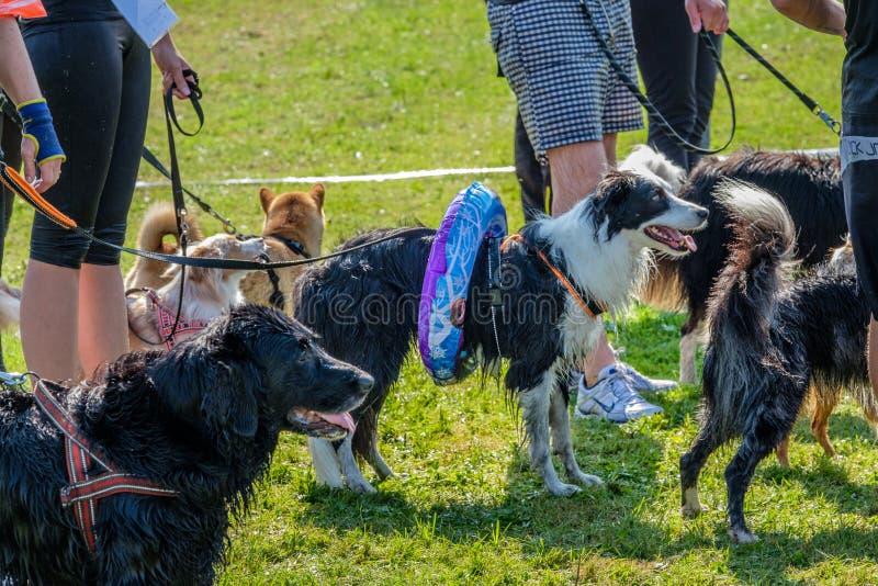 Os cães estão esperando com anéis da cintura pelo desafio seguinte na sobrevivência do cão imagens de stock royalty free